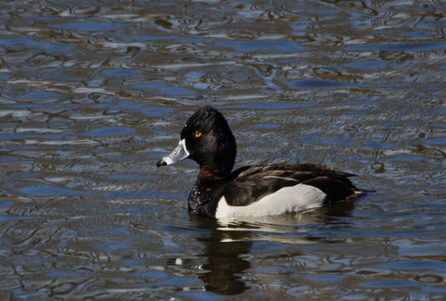 male1_DeltaPonds040409