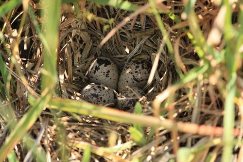 nest1_FRR053109
