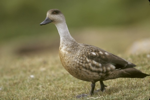 94_Pat_Crested_Duck