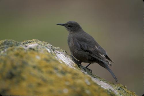 97_Tussock-bird
