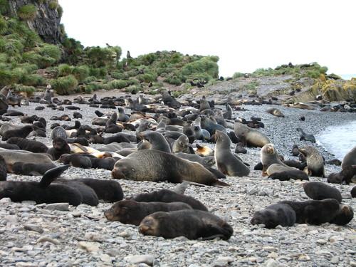 61_Fur_Seals_on_Prion