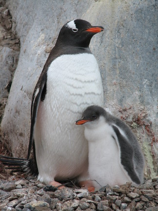 102_Gentoo_with_Chick
