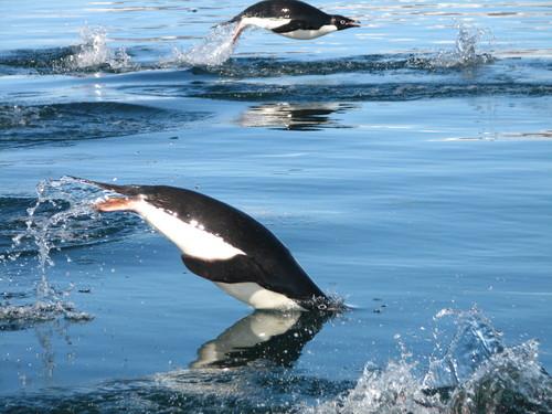 82_flying_penguins