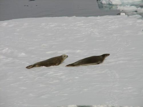 103_Crabeater_Seals