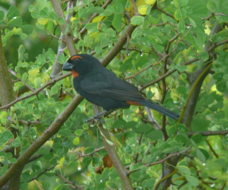 G_Antillean_Bullfinch_Bob_Lockett