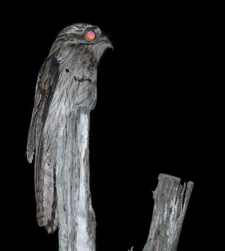 Northern_Potoo_Bob_Lockett